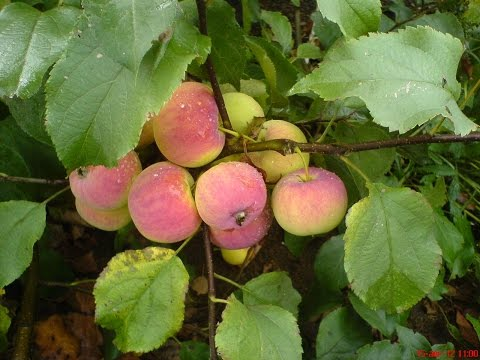 Зимостойкие яблони. Саженцы. #зимостойкиеяблони #зимомстойкиегруши #саженцывновосибирске #саженцы | зимостойкие | саженцы | яблони | сибирь | сорта | груши | сад