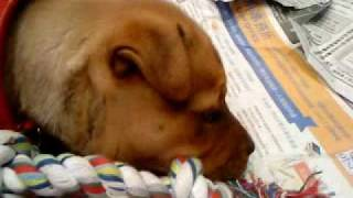 Rottweiler X Staff Puppy Dino Messing Bout Wid His Toys Inda Kitchen ! 07/05/10