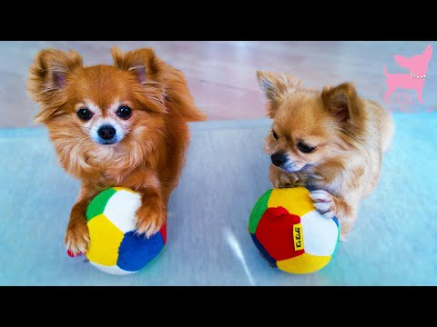Cute Chihuahua Dog Tricks With Balls and an Umbrella