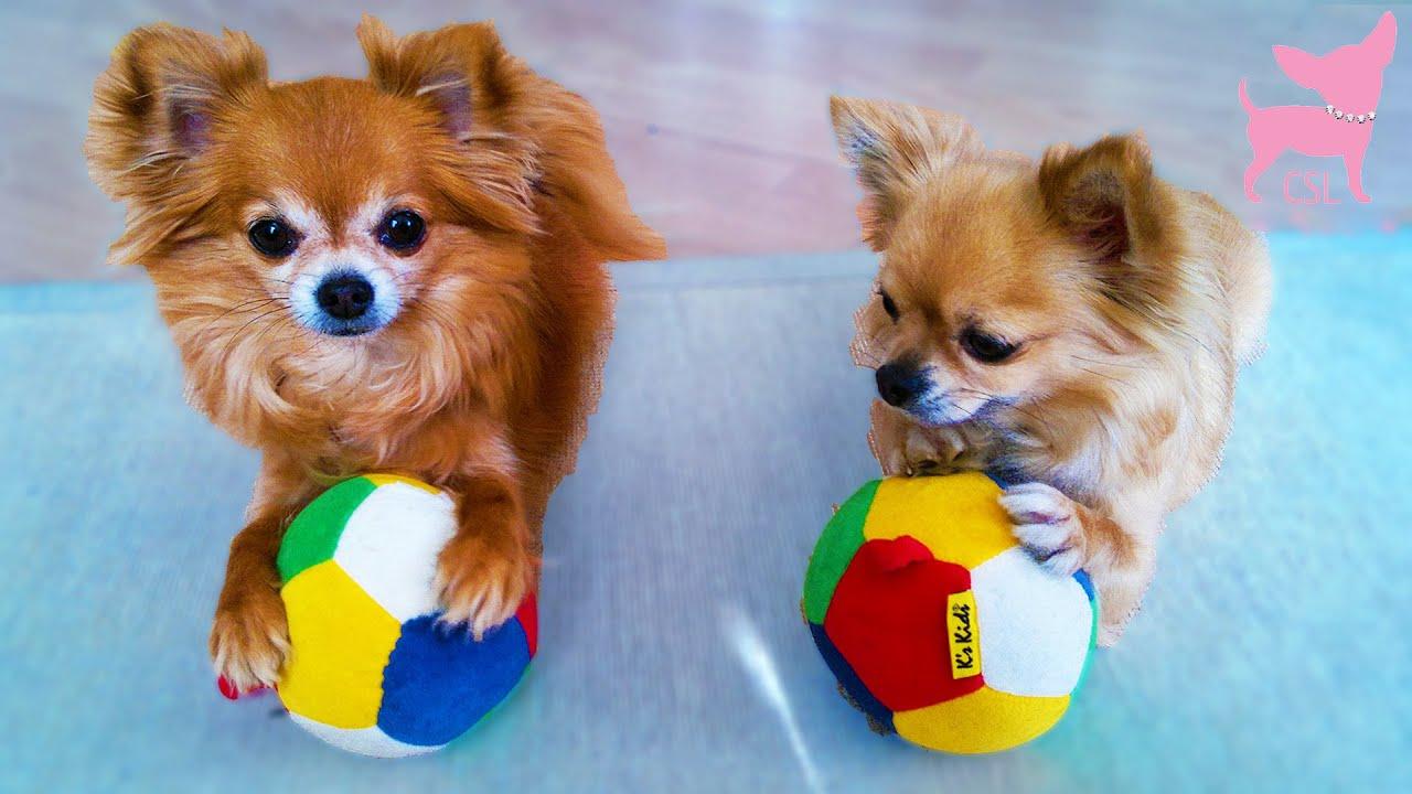 Resultado de imagen para chihuahua balls