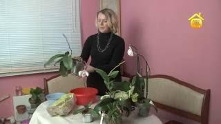 видео орхидея Phalaenopsis: уход после покупки