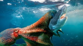 Octopus Vs Shark - So Surprising When Shark Is The Prey Of The Giant Octopus