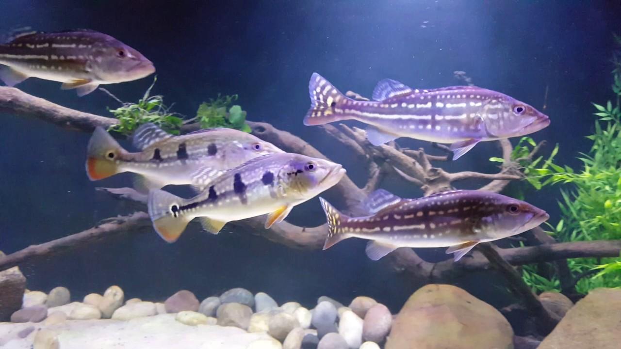 Click on the image to rotate photos |Peacock Bass Aquarium