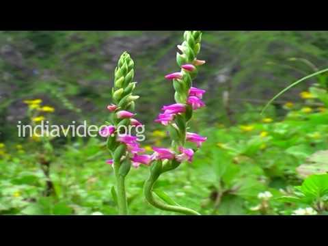 Austral Lady�s Tresses Orchids of Uttarakhand