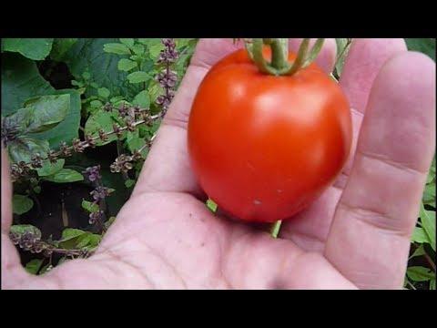 Cultivo De Tomates Orgánicos, Huerta De Claudio 2019