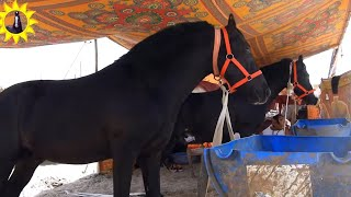 Beautiful Marwari 2Colt  In Balotra Fair - तिलवाड़ा घोड़ा बाज़ार