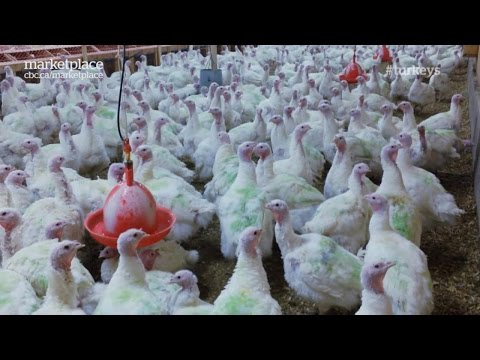 Animal Welfare At Turkey Farm: Hidden Camera Investigation (CBC Marketplace)
