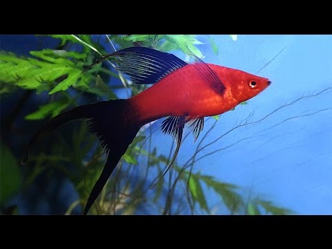 Platies And Swordtails : Platies and swordtails in Moscow/ ??????? ? ????????? ...