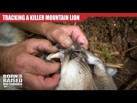 TRACKING A KILLER MOUNTAIN LION