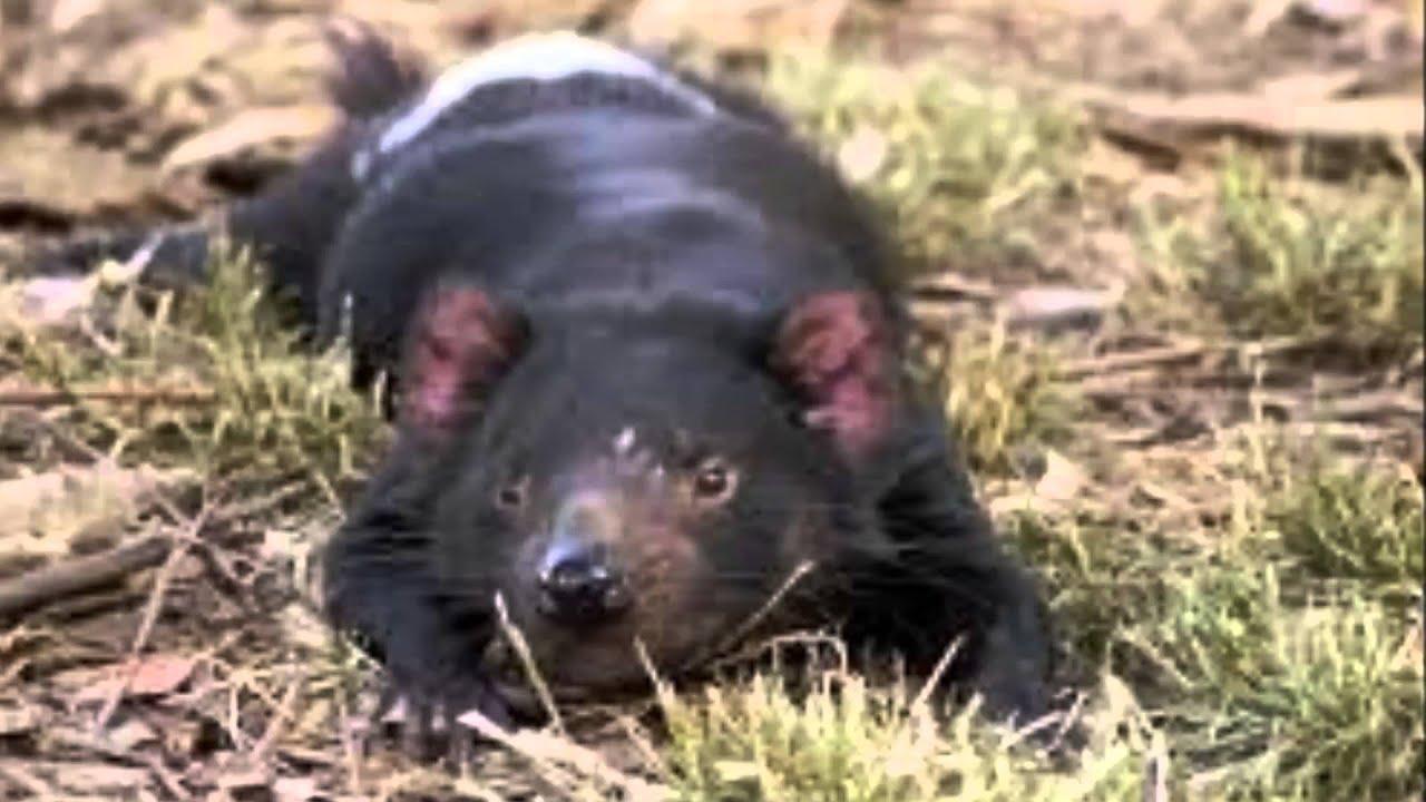 Il diavolo della tasmania a tasmanian devil youtube