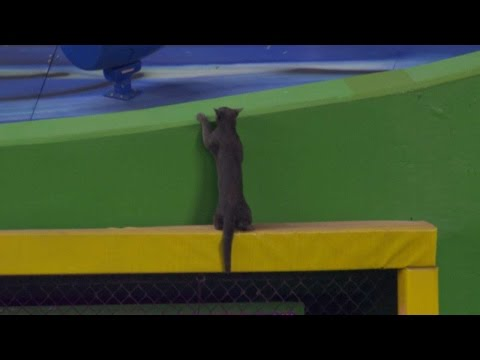 Thumbnail: Cat shows off athleticism on outfield wall
