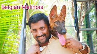Belgian malinois dog at Royal rott kennel [ECO OWN MEDIA] Dog farming