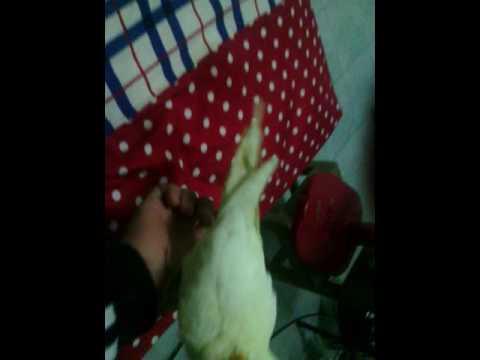 ขายนกในราคาถูก(นกเเก้วคอกกาเทว)เชื้องแล้วครับบ