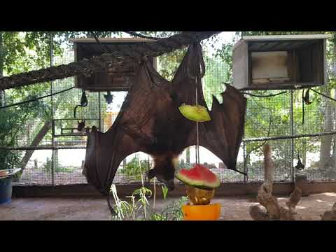 A posing Lyle's flying fox