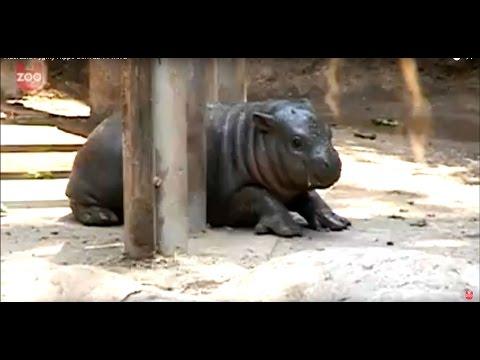 Adorable Baby Pygmy Hippo!