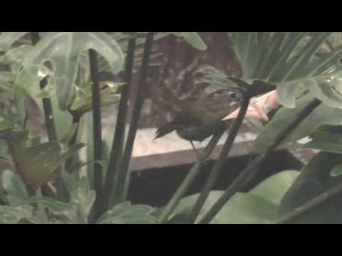 Babbler, Grey-throated -Stachyris nigriceps