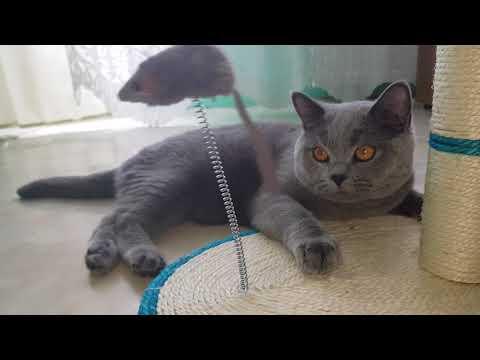 IDOL British Shorthair cat: MOUSE HD