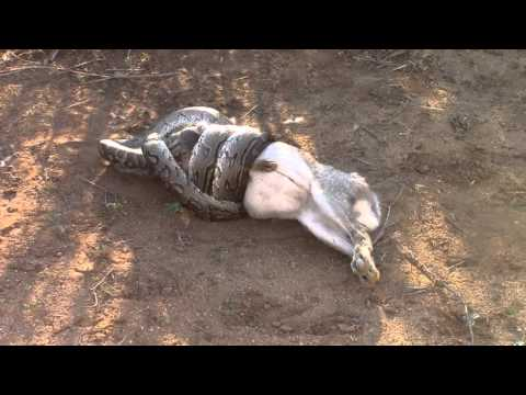 African Rock Python kills and swallows Scrub Hare whole!