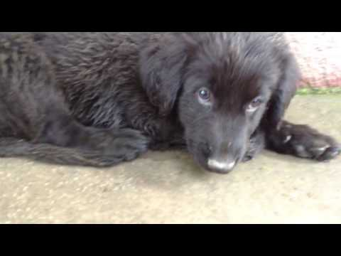 german shepherd golden retriever mix puppy mixing with the big dogs
