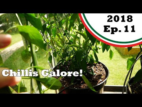 Loads of growth…and loads of chillis! (2018.E11 Garden Updates)