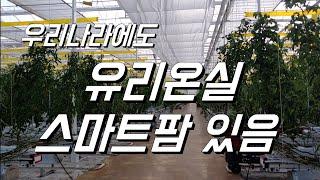 유리온실 스마트팜 구경. 토마토 수경재배. 토마토 스마…