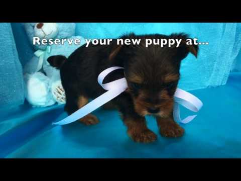 Teacup Yorkie Puppies For Sale In North Carolina