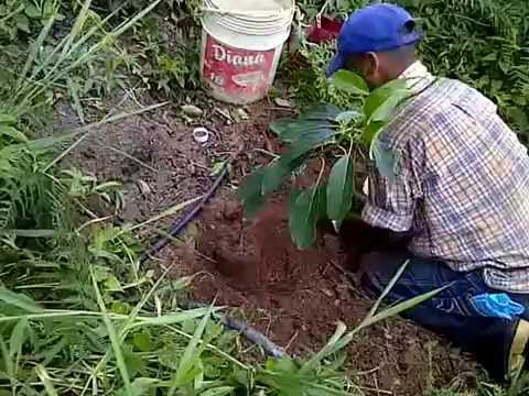 Siembra de arbol de aguacate youtube for Como cultivar aguacate