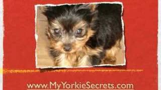 Housebreaking Yorkshire Terriers -- All About  Crate Training