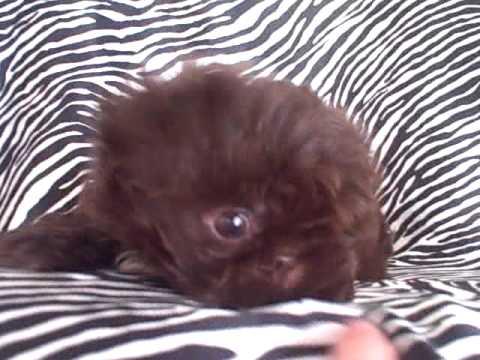 Tiny Imperial Chocolate Shih Tzu Puppy Youtube