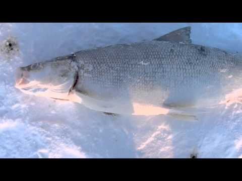 Commercial Ice Fishing Great Slave Lake