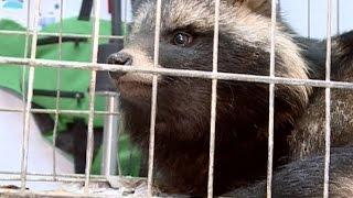 Двух енотовидных собак, обнаруженных в Вологде, выпустят на волю