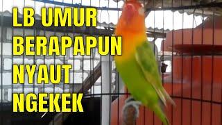 Gambar cover LOVEBIRD seret dan BISU langsung NGEKEK setelah dengan LOVEBIRD NGETIK ini
