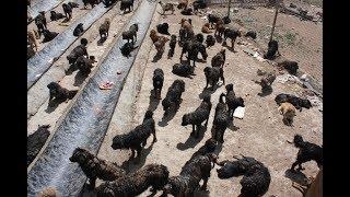 Porzucone mastify tybetańskie (polskie napisy) thumbnail