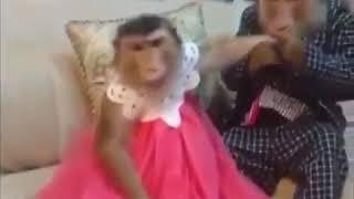 Karısını döven maymun