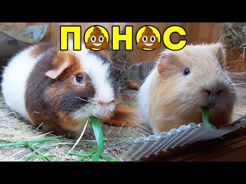 Вопрос: Можно ли морской свинки мышиный горошек?