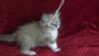 FOR SALE DUMPLING KITTENS JANUARY 7 2019 - A Ragdoll To Love Cattery