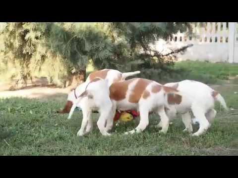 Irish Red and White Setter & Gordon Setter puppies