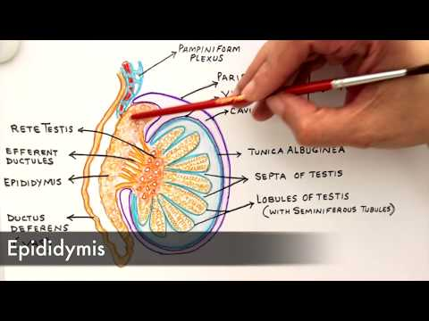 Gross Anatomy And Histology Of Testes