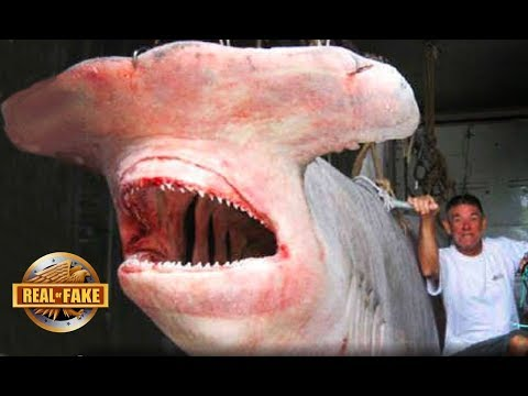 GIANT HAMMERHEAD SHARK - real or fake?