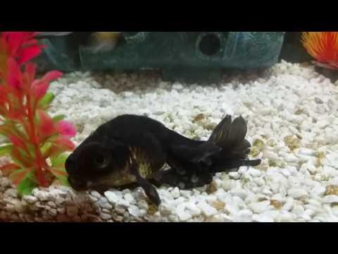 Black Goldfish Moor Sick :opinion