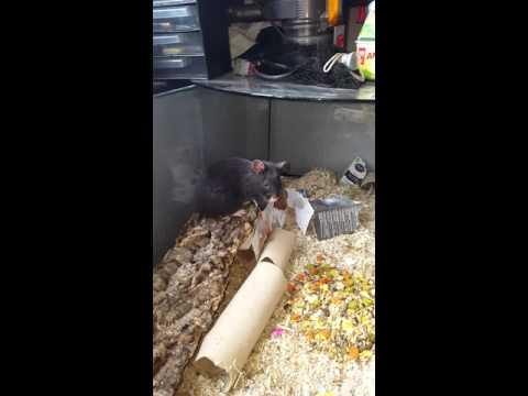 Hagrid, My Black European Hamster
