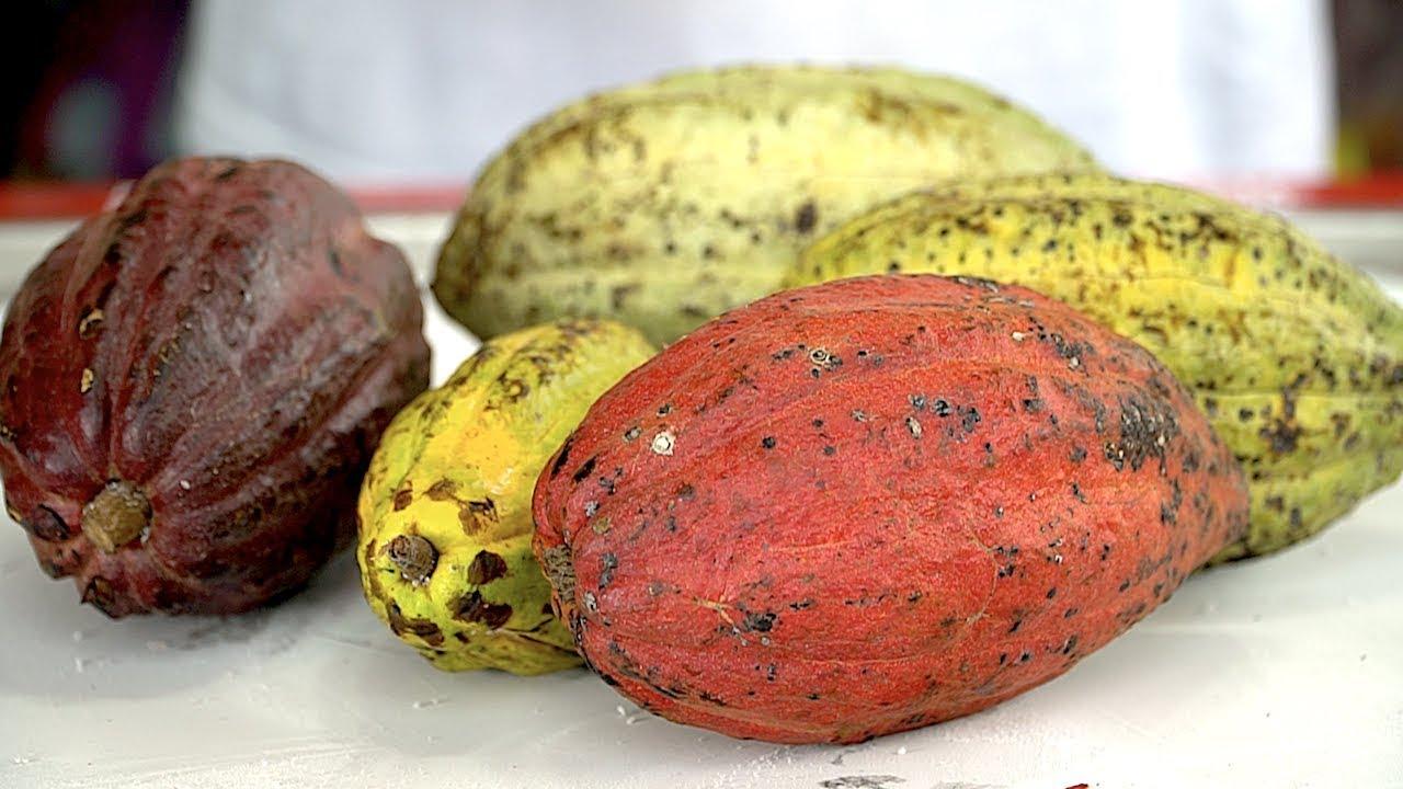 100% Pure Cacao Chocolate Ice Cream Rolls