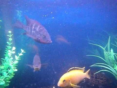 Cichlid Fish Tank Cichlid Fish Tank African And