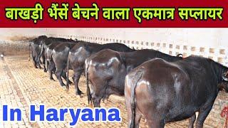 Breed-Murrah Buffalo || Dry, Milking & Heifer || Supply All Over India