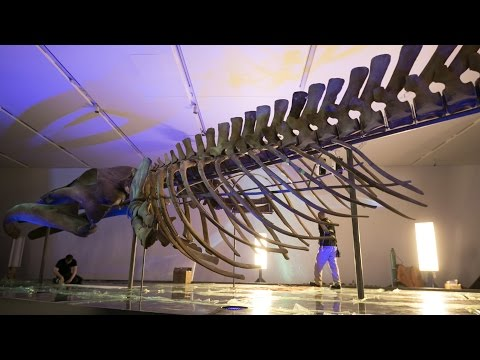 Video: How a 90-tonne blue whale carcass from Newfoundland ended up at the Royal Ontario Museum