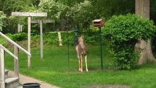 City deer have the best comedic timing