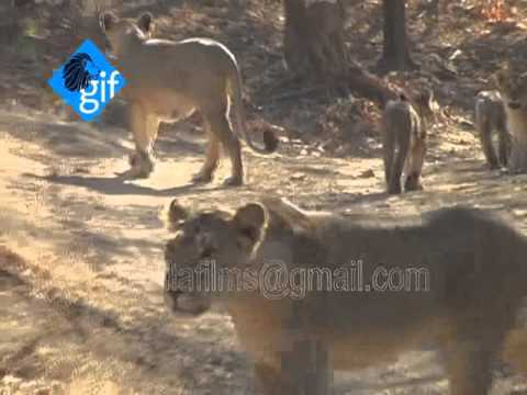 Asiatic lion count in Gir forest goes up to 523: Growing pride of gujarat