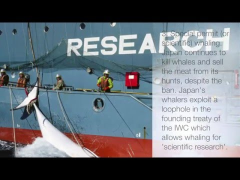 Marine Ecology whale hunting