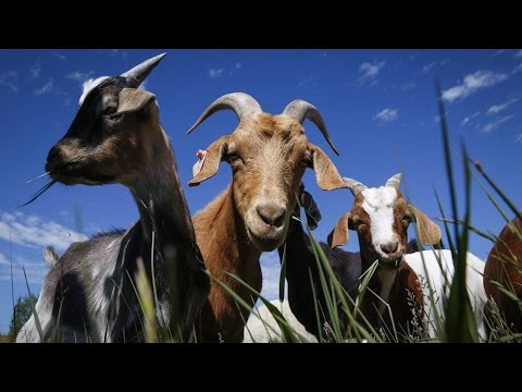 Goat herd in Calgary park munches weeds in pilot project