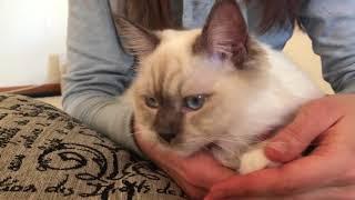 Ragdoll Kitten - котенок рэгдолл и операция по стерилизации - немного информации о процессе